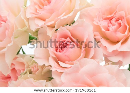 Background of pink roses  - stock photo