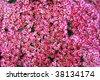Background of pink Sedum Telephium - stock photo