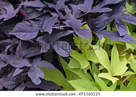 background of plant foliage purple and green color