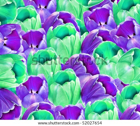 Background of purple and green tulips - stock photo