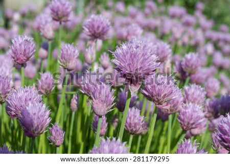 Background of purple spring flowers. - stock photo