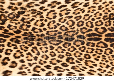 background of real leopard skin - stock photo
