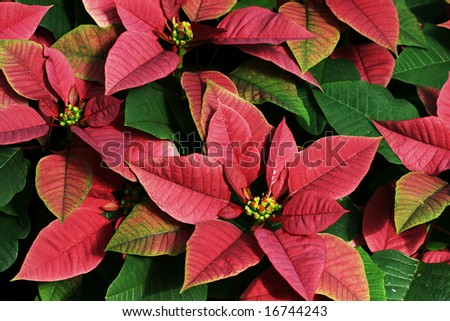 Background of Red and Green Poinsettias (Euphorbia Pulcherrima) - stock photo