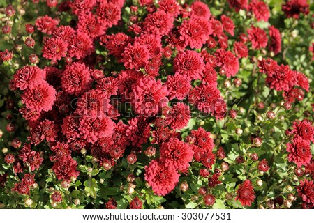 background of red chrysanthemum