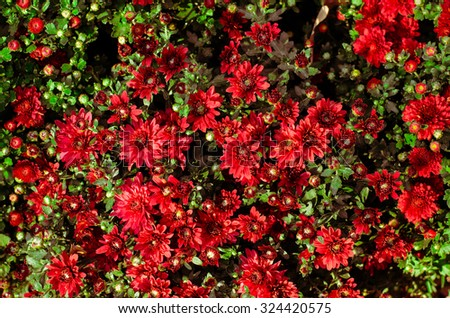 Background of red chrysanthemums