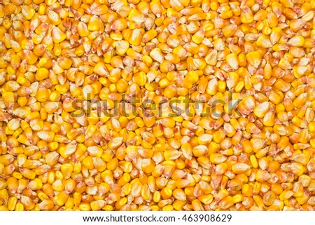 Background of ripe maize kernels, husked from corn cob