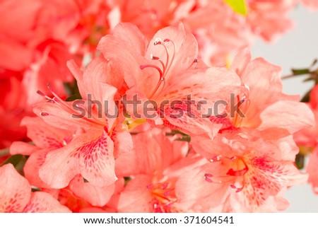 Background of salmon pink azalea flowers.