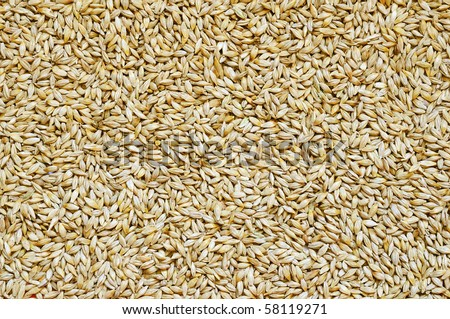Background of small and ripe barley grains - stock photo