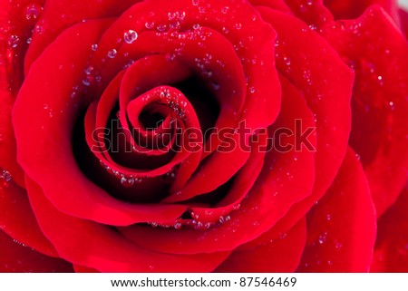 background of the big beautiful red rose with water drops