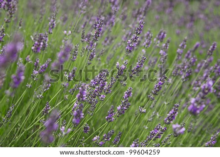 Background of the branches of flowering lavender