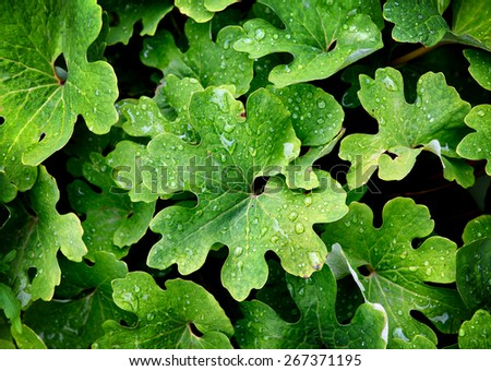 Background of the Fresh Green Leaves with Water drops - stock photo