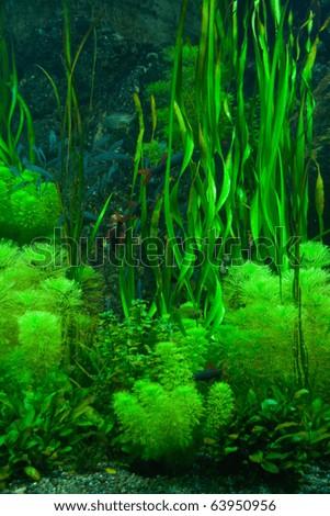 Background of the green aquarium seaweed underwater - stock photo