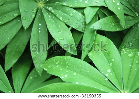 Background of the leaves of lupine. Photo