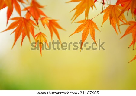 background of the maple leaves - stock photo