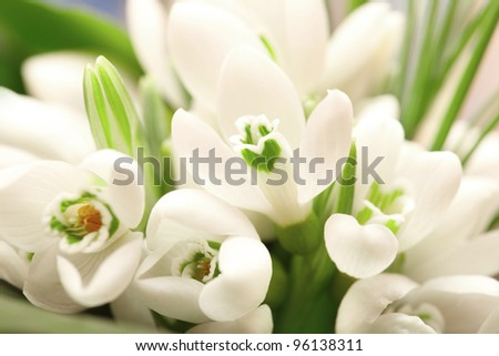 Background of the snowdrop flowers and green leaves - stock photo