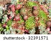 "Background of the succulent plant of the genus Sempervivum. Also known as Houseleeks or ""Hen and Chicks"" - stock photo"