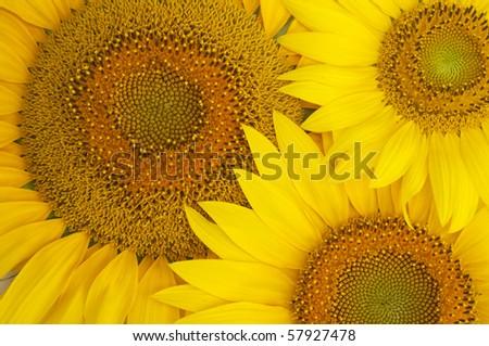 Background of the three beautiful sunflowers - stock photo