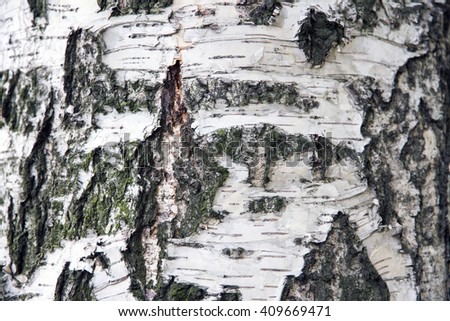 Background of the trunk of the white birch. Texture of birch bark. The tree close up. An old birch with a notch to collect the juice.