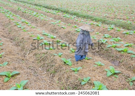 background of tobacco farm in morning, with thai scarecrow - stock photo