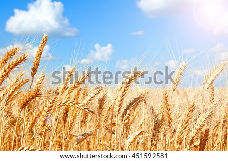 Background of wheat field with ripening golden ears and blue sky closeup - stock photo