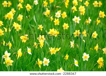 Background of white and yellow daffodils blooming in green grass - stock photo