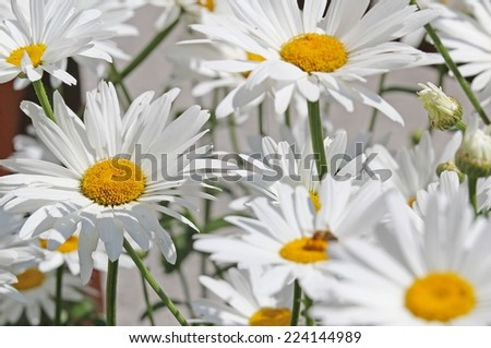 background of white daisies bloomed beautifully in the middle of the lawn - stock photo