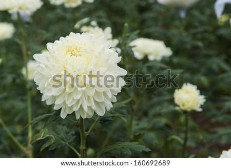 background of white flowers - stock photo