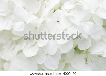 Background of white hydrangea blossoms - stock photo