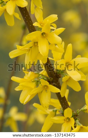 Background of yellow flowers of spring.