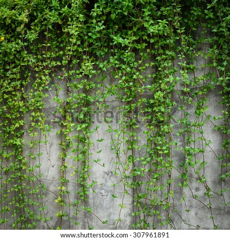 Background old wall and ivy leaves
