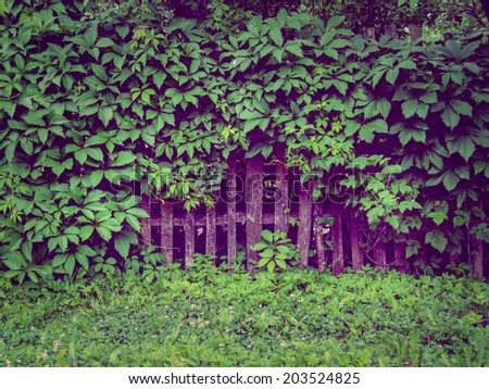 background old wooden fence overgrown with green ivy leaves green grass in front of him - stock photo