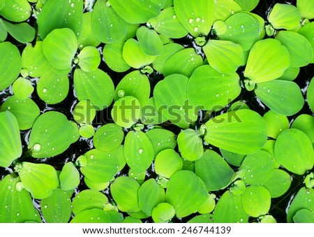 background pattern backdrop picture of leaves of green water fern, mosquito fern close up floating in a garden pond under sunlight on smooth water surface - stock photo