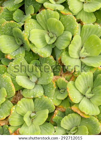 background pattern backdrop picture of leaves of green water fern, mosquito fern close up with raindrops on the leaves floating in a garden pond under sunlight on smooth water surface - stock photo