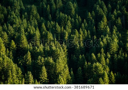background pine wood wallpaper green forest top view.  - stock photo