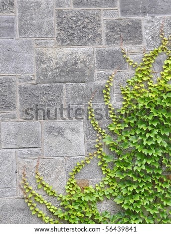 background stone wall with Ivy - stock photo