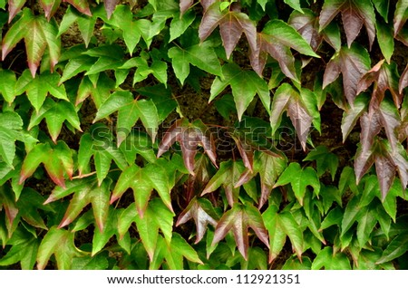 Background Texture Of Ivy Leaves Against A Garden Wall - stock photo