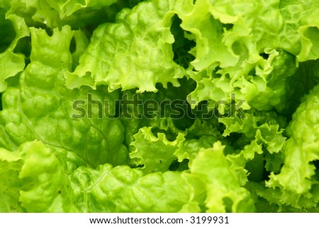 background texture of lettuce leaves - stock photo