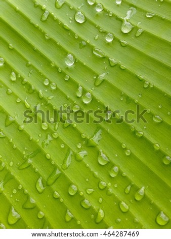 background Water drops on green banana leaf