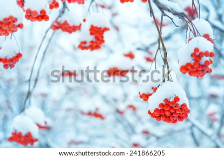 Background with bright snowy mountain ash - stock photo