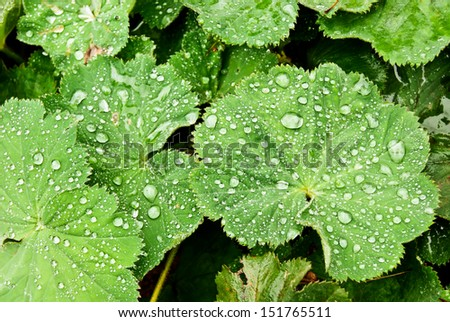 Background with brilliant water drops on leaves of Lady's Mantle, top view  - stock photo