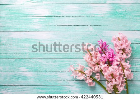 Background  with fresh  pink flower hyacinths on turquoise painted wooden planks. Selective focus. Place for text.