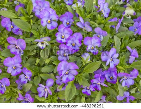 Background with garden decorative violet pansies (Viola tricolor var. hortensis)    - stock photo