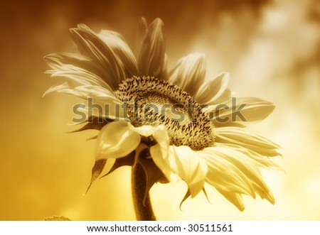 Background with sunflower - stock photo