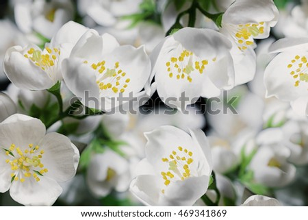 Background with White jasmine flowers on a bush macro