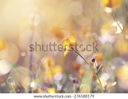 Background with yellow flower of a buttercup on a meadow lit with the sun. - stock photo