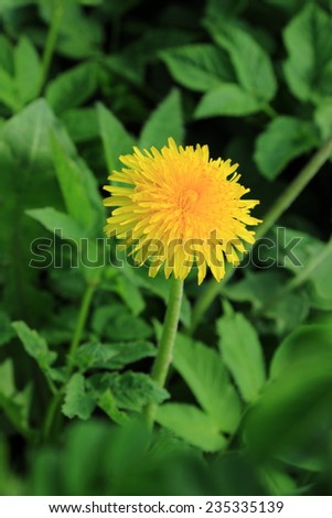 background yellow dandelions in spring meadow, Russia - stock photo