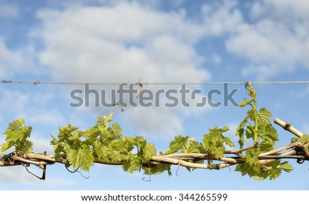 Background Young Grape Vine Leaves Cloudy Sky - stock photo