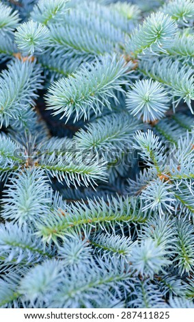Backgrounds and textures: solid mix of blue fir tree branches, natural seasonal background - stock photo