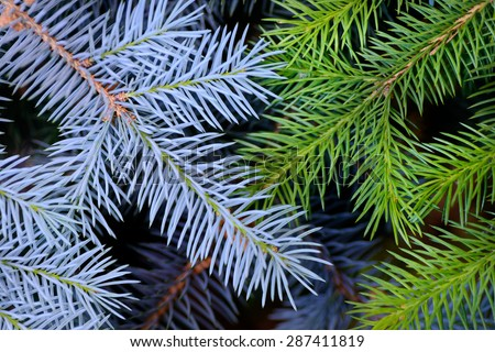 Backgrounds and textures: two crossed fir tree branches, blue and green, natural seasonal background - stock photo