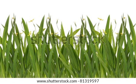 backgrounds of fresh spring green grass with yellow flower Isolated On White - stock photo